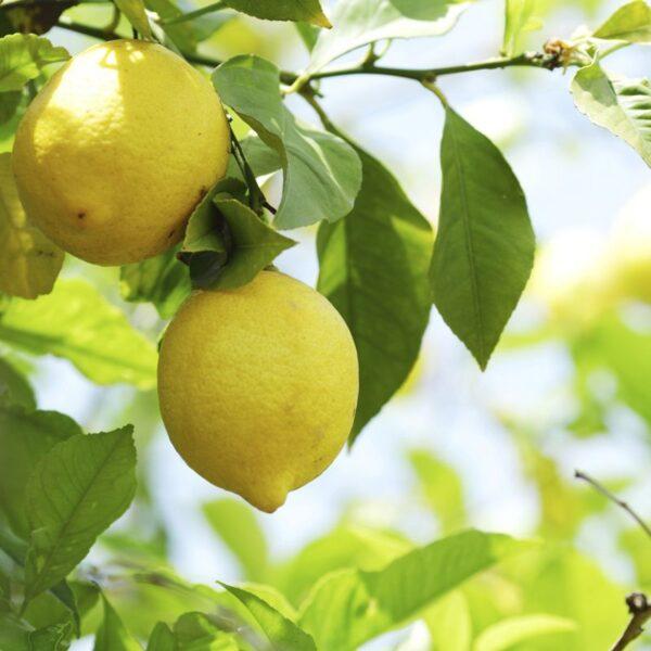 Eterično olje limona - Citrus limon