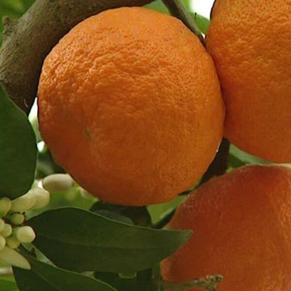 etericno-olje-sladke-pomarance-2
