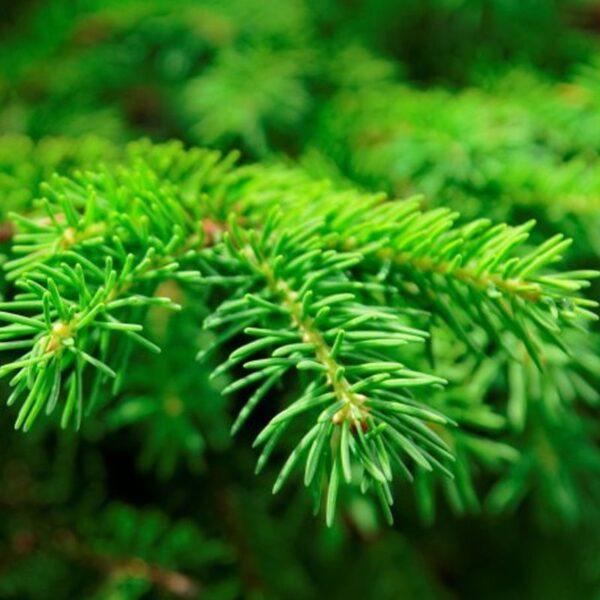 Eterično olje smreka - Picea communis