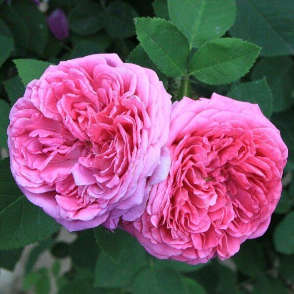 etericno-olje-damascanske-vrtnice-1