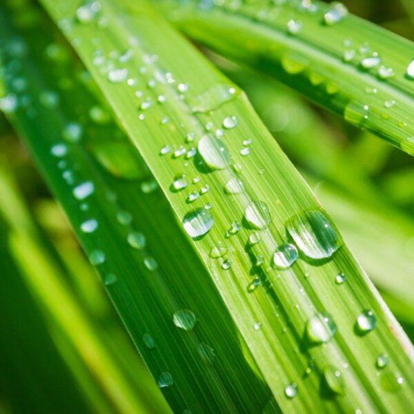 Florihana eterično olje limonske trave - lemongrass