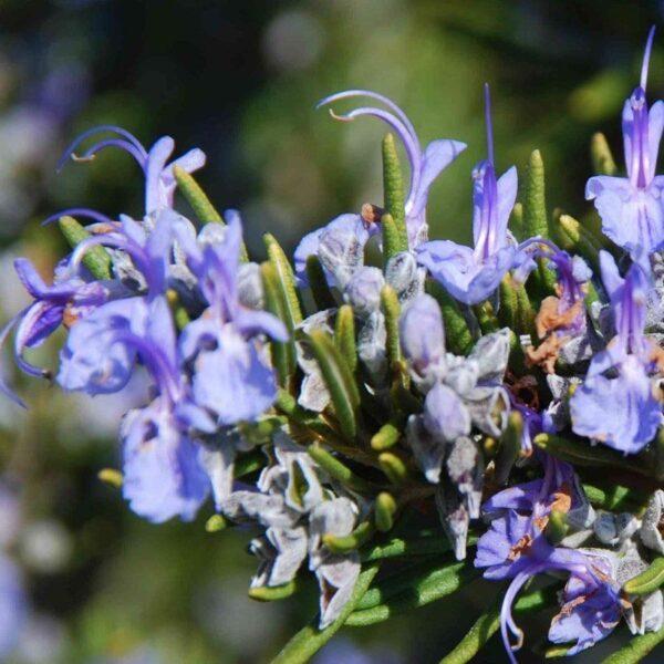Eterično olje rožmarin kt. cineol - Rosmarinus officinalis ct. cineol