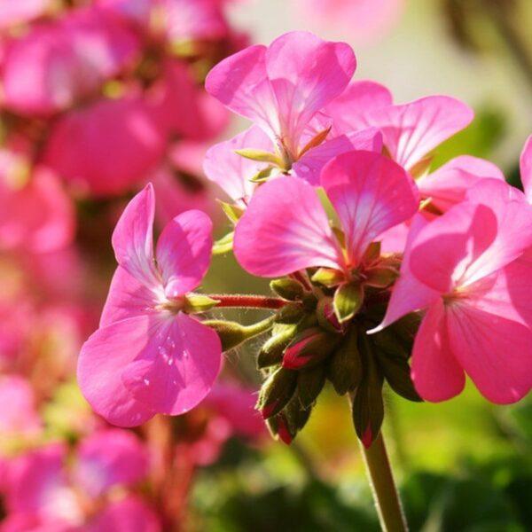 etericno-olje-rozne-pelargonije-2