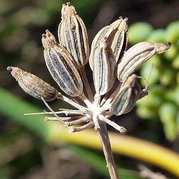 Eterično olje sladki komarček - Foeniculum vulgare