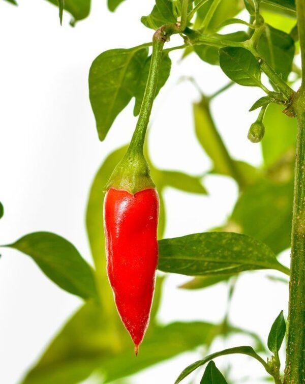 Tregren semena za pametni vrt - čili jalapeno