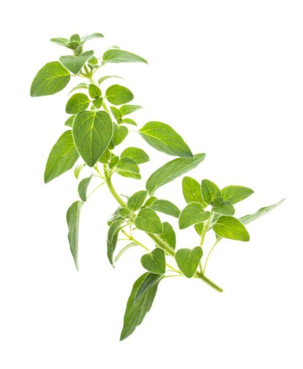 Tregren semena za pametni vrt - origano
